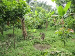 Cocoa garden near Kyavikere