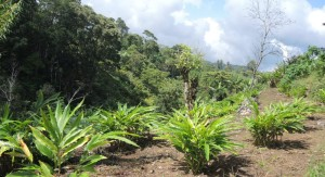 plantación de cardamomo