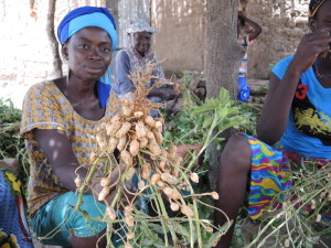 8995 woman with harvested groundnuts