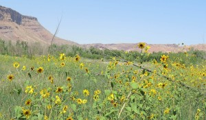 sunflowers in the sloughs env