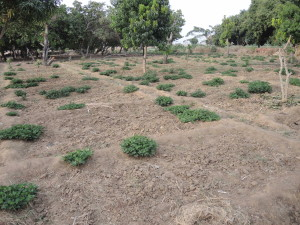 0719 groundnuts for seed grown on edge of sunken onion beds profit from irrigation water