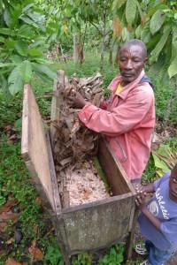 Pink jerkin ferments cacao