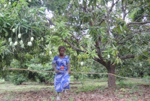 1331 Lamatou harvests mangoes