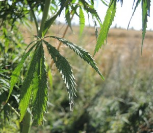 marihuana leaves