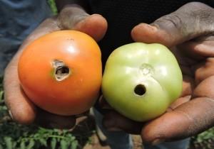 tuta-damage-in-tomato-fruit