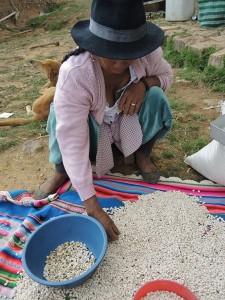 sorting tarwi or lupine seed